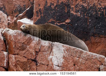 Colony Of South American Sea Lion On The Stony Ballestas Island - Otaria flavescens - Ballestas Islands Nature Reserve - Peru