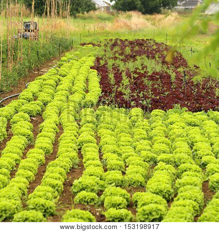 Vegetable Garden Cultivated With Green Lettuce And Red Chicory