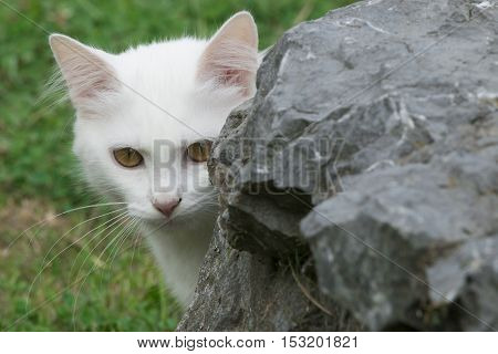 Young white kitten hiding behind rock in garden