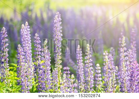 Blooming lupine flowers. A field of lupines. Sunlight shines on plants. Violet spring and summer flowers. Gentle warm soft colors, blurred background