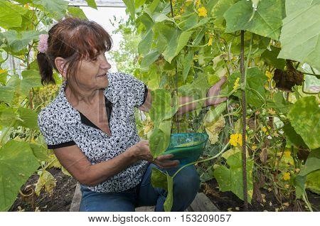 Pretty women aged holds cucumber in a greenhouse