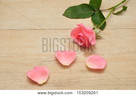 A single pink rose with three petals isolated on a wooden background
