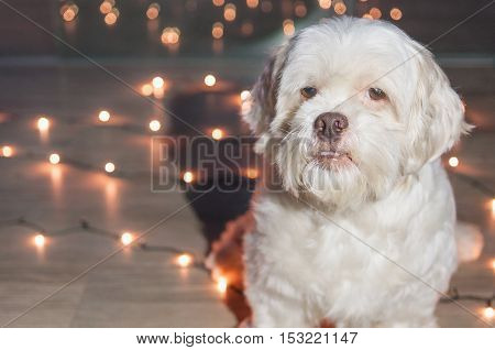 Lhasa Apso dog with christmas lights on the background. For advertising some petshop on Christmas Eve. Blank space to the left to put text.