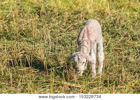 closeup of newborn lamb grazing on meadow