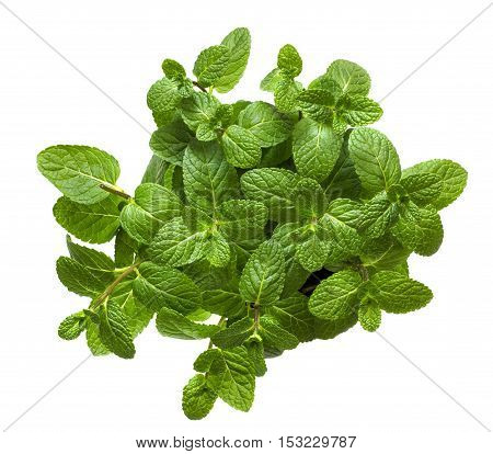 Fresh leaves of fragrant mint on a white background