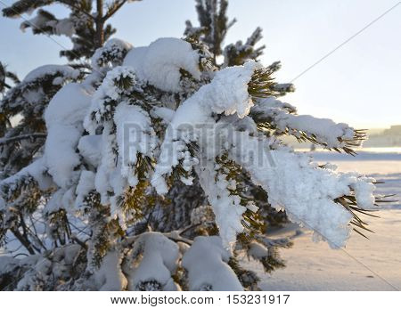branch fir under snow, winter evening in January