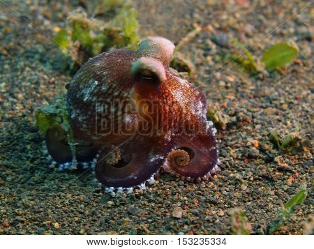 The surprising underwater world of the Bali basin, Island Bali, Puri Jati, octopus