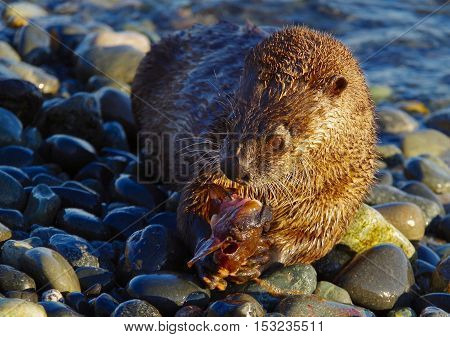 A river otter holds a fish in its paws while eating on a pebbly beach in the Pacific Northwest in the evening sun.