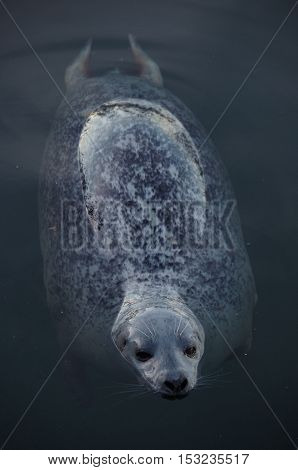 A female harbour seal rests by floating on the surface of the sea in the evening with the sky reflected by its wet fur.