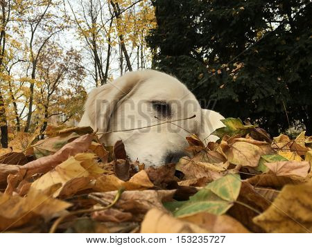 Golden retriever enjoys autumn laying on leafs