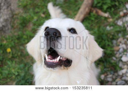 Golden retriever can't wait to get food after walk