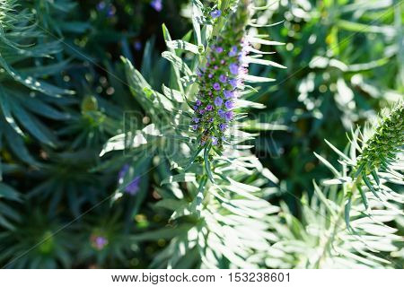 Echium candicans commonly known as pride of Madeira is a species of flowering plant in the family Boraginaceae native to the island of Madeira.