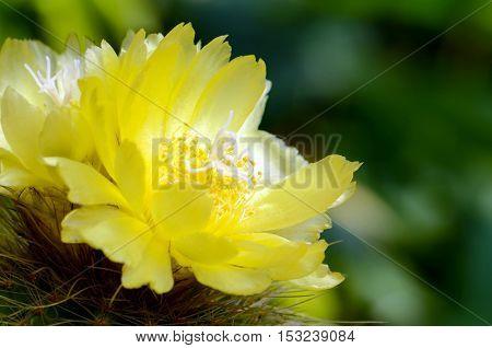 Yellow Flowers Of Cactus.