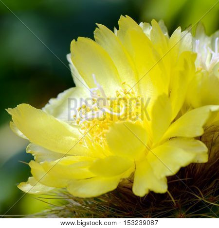 Yellow flowers of cactus on natural green background.