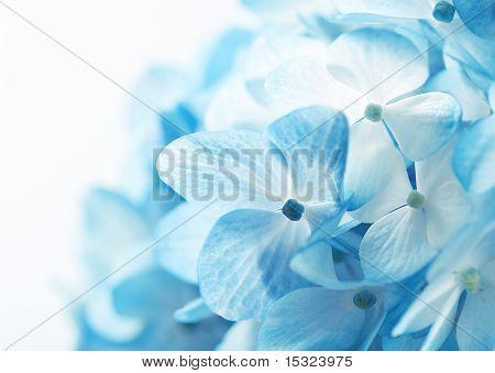 Luz azul hortênsia flores fundo