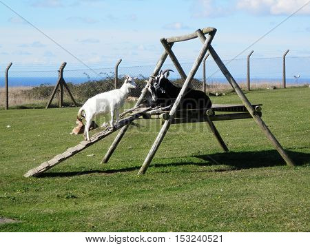 Goats On Climbing Frame
