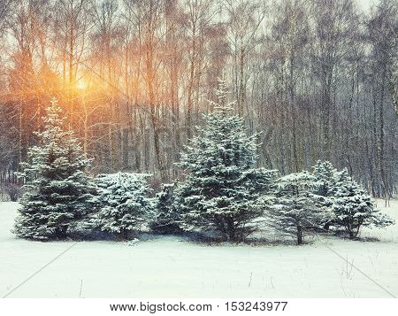 Christmas trees covered with snow in the city park. Snow storm at sunset