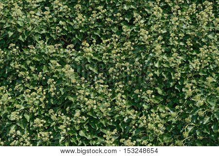 Green natural background of Clematis bush foliage with many flower buds in many formed blossom clusters.
