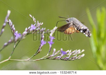 Hummingbird hawk-moth Macroglossum stellatarum hovering over a flower