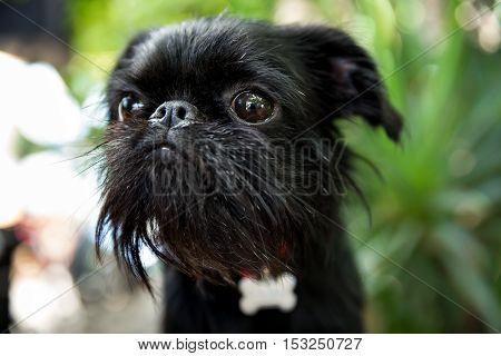 Portrait Of Pedigree Dog Belgian Griffon