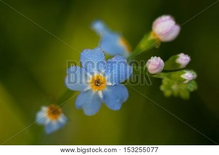Forget-me-eared (Myosotis scorpioides) with blue flowers and pink flower buds