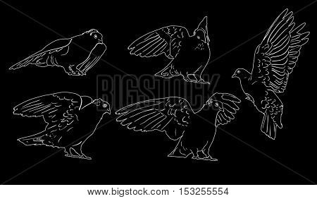 illustration with pigeon sketches isolated on black background
