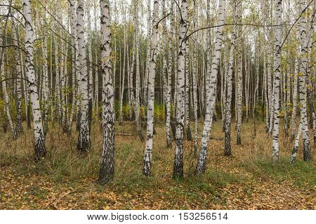 Autumn in the birch grove. Yellow fallen leaves.