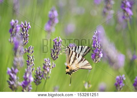 Butterfly on lavender flower a summers day