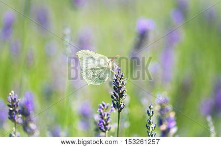 White butterfly on lavender flower in summer