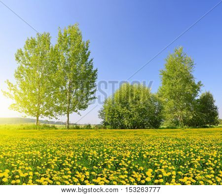 Sunny spring landscape with blooming dandelions in the meadow.
