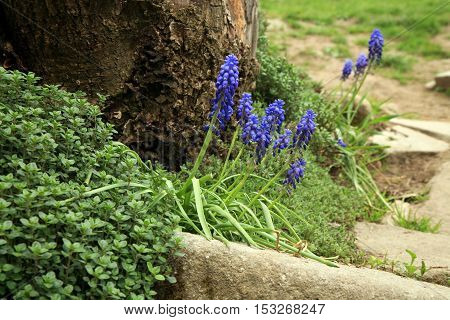 Blue muscari flowers (Grape Hyacinth) in the garden