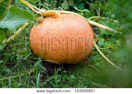 orange pumpkin covered with rain drops is growing in the garden