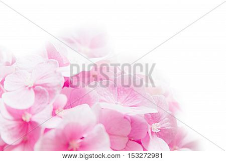 Bloosom hydrangea - pink flower on a white background. Floral background. Isolated.