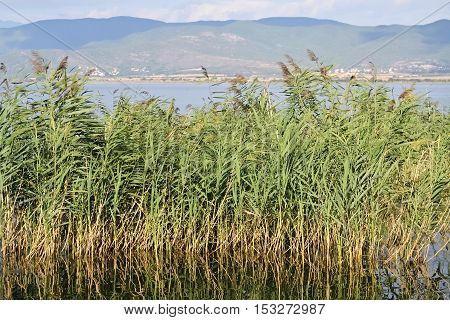 Green reed and small lake in a beautiful sunny day