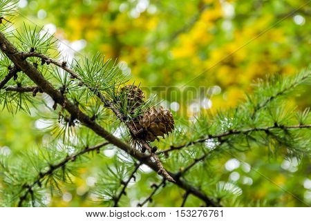 Pine branch with cones shot in the forest with bokeh effect and autumn yellow tones in background.