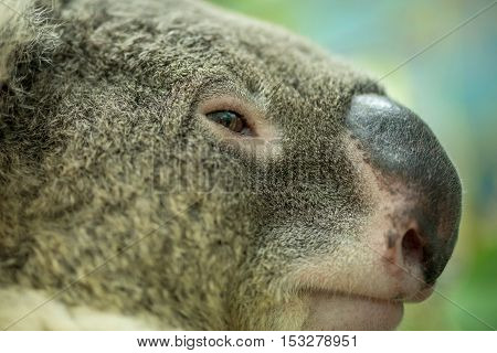 Extreme close-up detail on the side of a Koala's face. Nature and conservation concept.