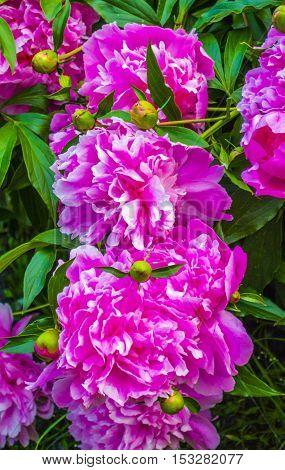 peonies. Bouquet of pink peonies close up. peony