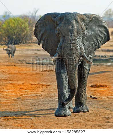 portrait of a large elephant with a buffalo in the background in Hwange national park