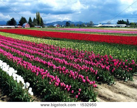 Red Tulip Field And Barns