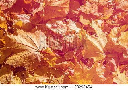 Texture, Pattern, Background.maple Leaves In Autumn A Tree Or Shrub With Lobed Leaves, Winged Fruits