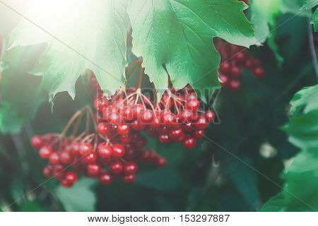 Red ripe fruits on guelder rose tree branch. Closeup of fresh organic viburnum with green leaves. Garden in village. Growing seasonal fruits, medicinal plants, harvest at farm, agricultural concept