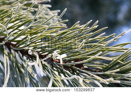 Winter background with pine tree branch thorns covered in frost