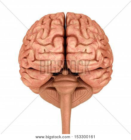 Human brain 3D model isolated on white. Medically accurate 3D illustration