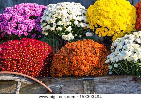 Vivid And Colorful Farm Mums