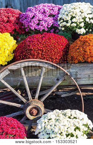 Farm Wagon Wheel And  Mums