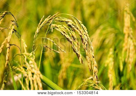 close up of yellow green paddy rice field