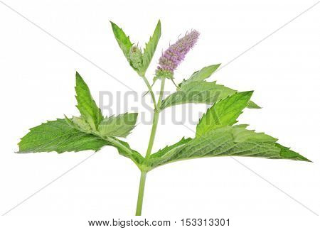dark green mint leaves with pink flowers isolated on white background