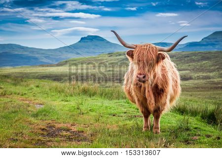 Grazing Highland Cow In Isle Of Skye, Scotland