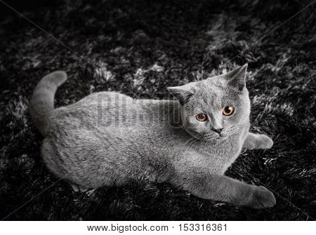 Adorable cat with ginger orange eyes lying on black and white carpet. The British Shorthair pedigreed kitten