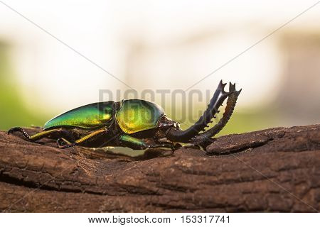 Green Stag Beetle (lamprima Adolphinae)